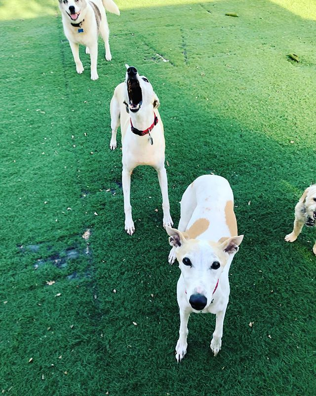 THROW IT!!!!!!🎾🎾🎾 #balldogs #whippets