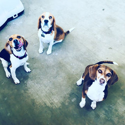 Beagle Nation!!! Reese, Tucker and Snick