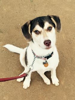 callie beagle