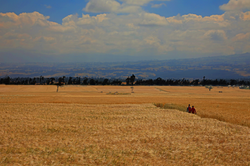 풍경_풍요로운 밀밭, 이테야_에티오피아, 30.5 x 45