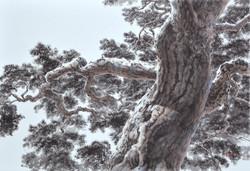 송승호1, 울진소나무, 50 x 73 cm, 화선지에 수묵담채, 2020