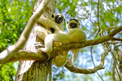 동물_시파카원숭이-뭘봐?, 무른다바_마다가스카르_30.5 x 45
