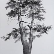 1번 2015,청령포관음송,Muk on HanJi,190x110cm.jp