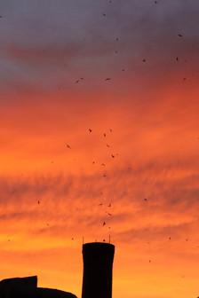Chimney Swifts at sunset