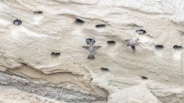 Bank Swallows feeding young