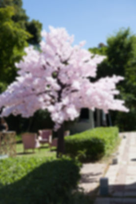Pink Cherry Blossom Tree Cape Town
