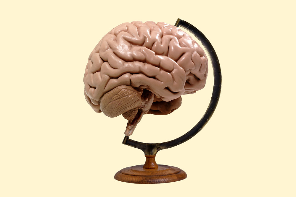 brain development globe model