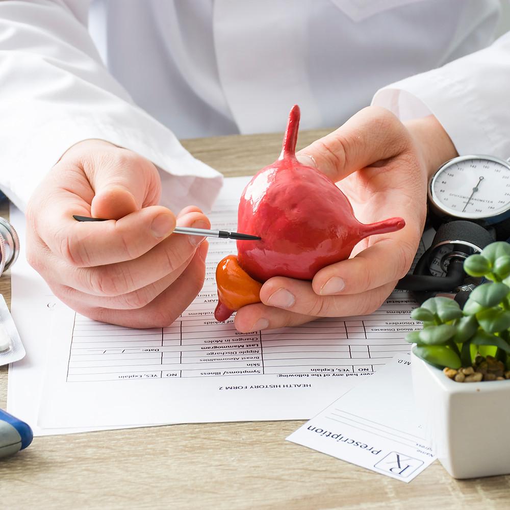 doctor showing bladder plastic model