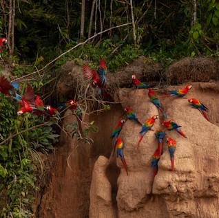 Ara nella foresta amazzonica