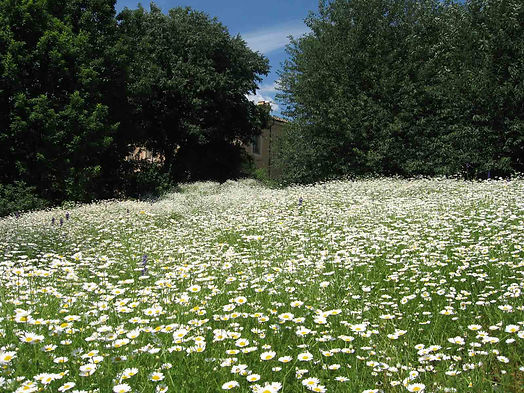 Chamomile field in the english garden