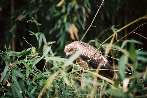 Wild buzzard