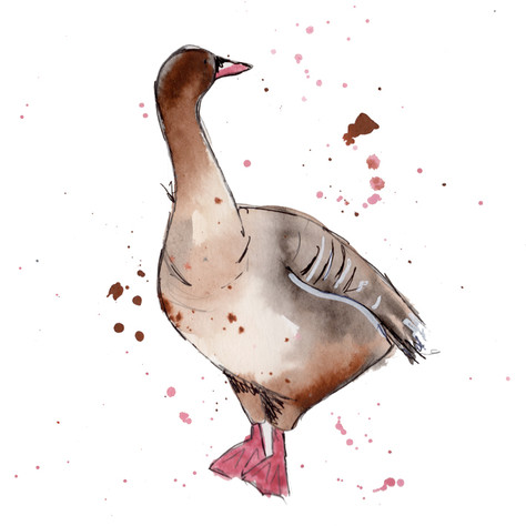 Pink footed goose web .jpg