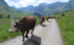 cows-on-the-road_orig.jpg