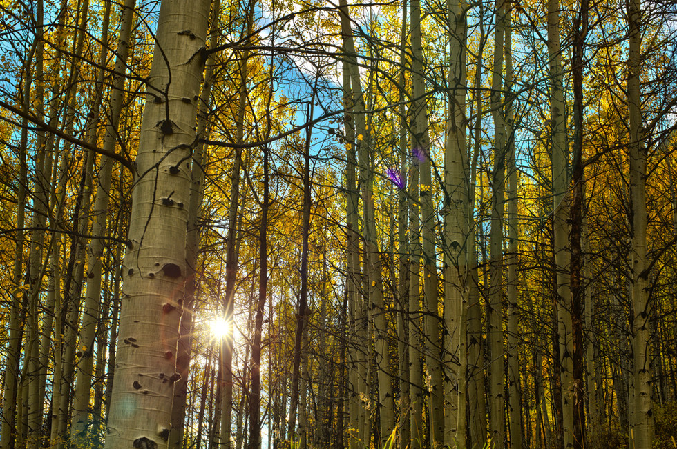 Aspens_Fall copy.jpg