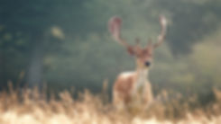 437883-new-whitetail-deer-backgrounds-19