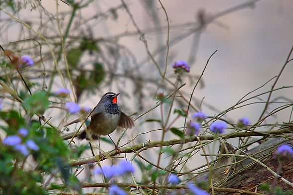 white_tailed_rubythroat_2025.jpg