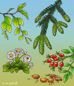 essbare wildpflanzen (c)jansasse.jpg