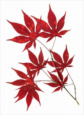 C27 - Japanese Maple Leaves