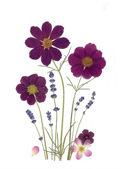 Pressed flower original with cosmos and lavender
