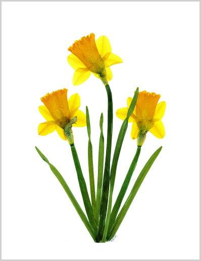 C32 - Daffodils
