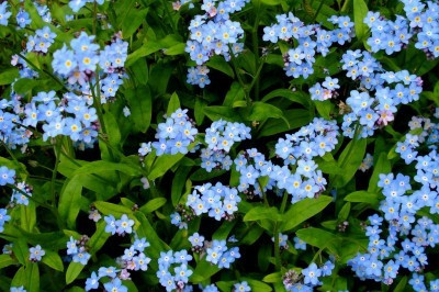 forget-me-nots from Vermont