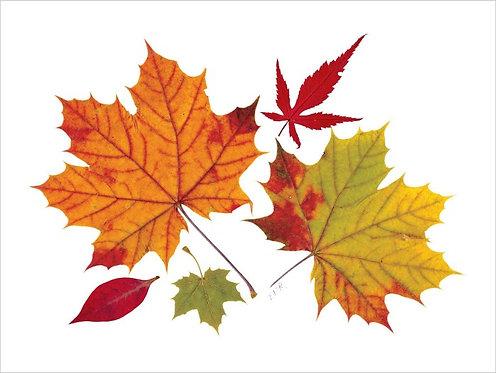 C11 - Maple Leaves