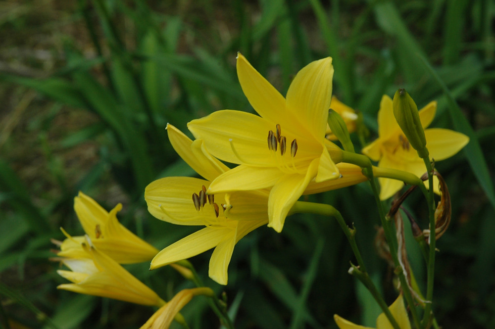 yellow day lilies | Vermont pressed flowers