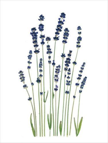 C9 - Lavender