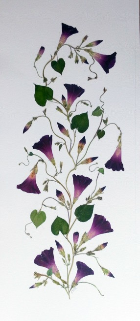 Morning glories, pressed flower art