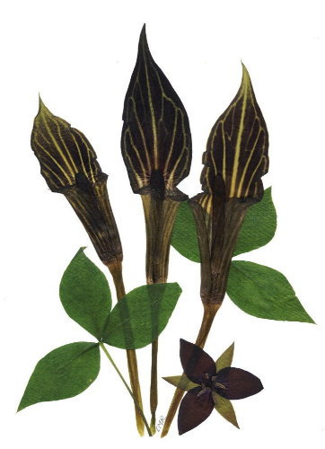 C39 - Jack in the Pulpit