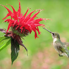 hummingbird drinking from bee balm in Vermont