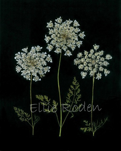 Queen Anne's Lace by Vermont Pressed Flowers