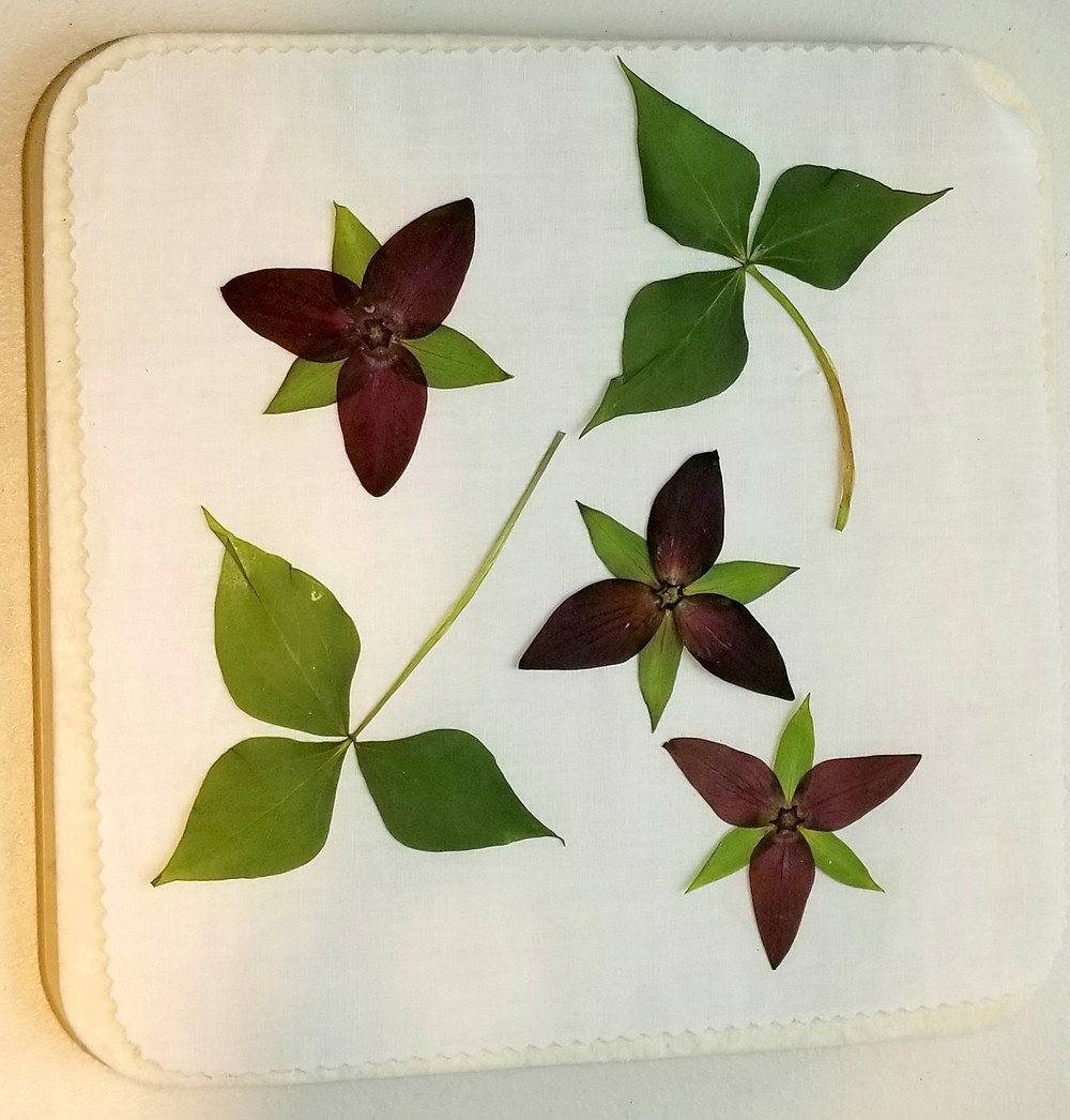 red trillium pressed flower art