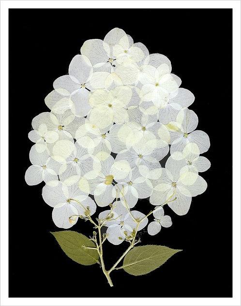 C7 -White Hydrangea