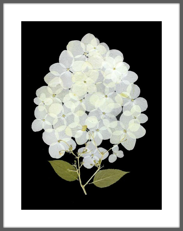 White Moth Hydrangea