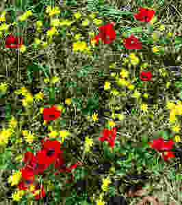 Israeli wildflowers