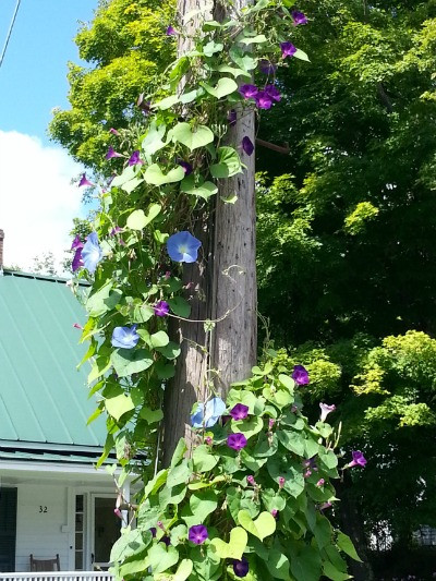 morning glories hiding a telephone pole
