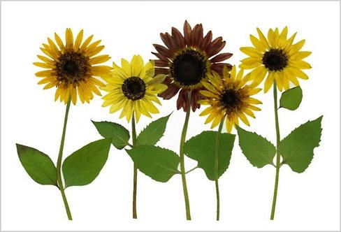 C24 -  Sunflowers