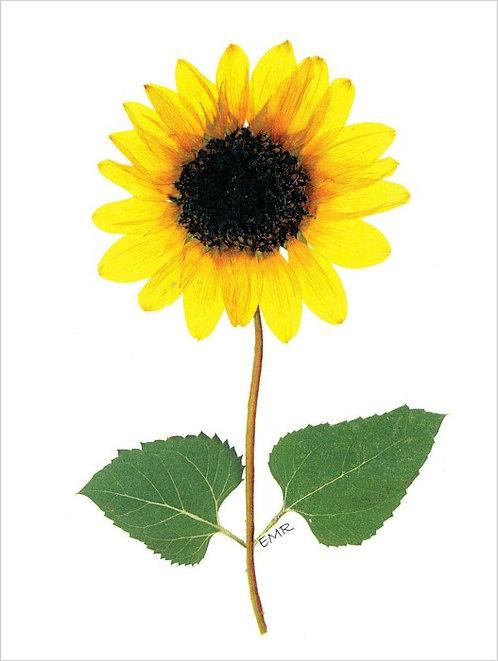 C10 - Sunflower
