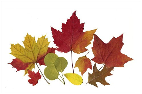 C31 - Autumn Leaves