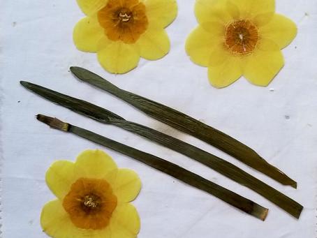 Why I Love to Press Daffodils