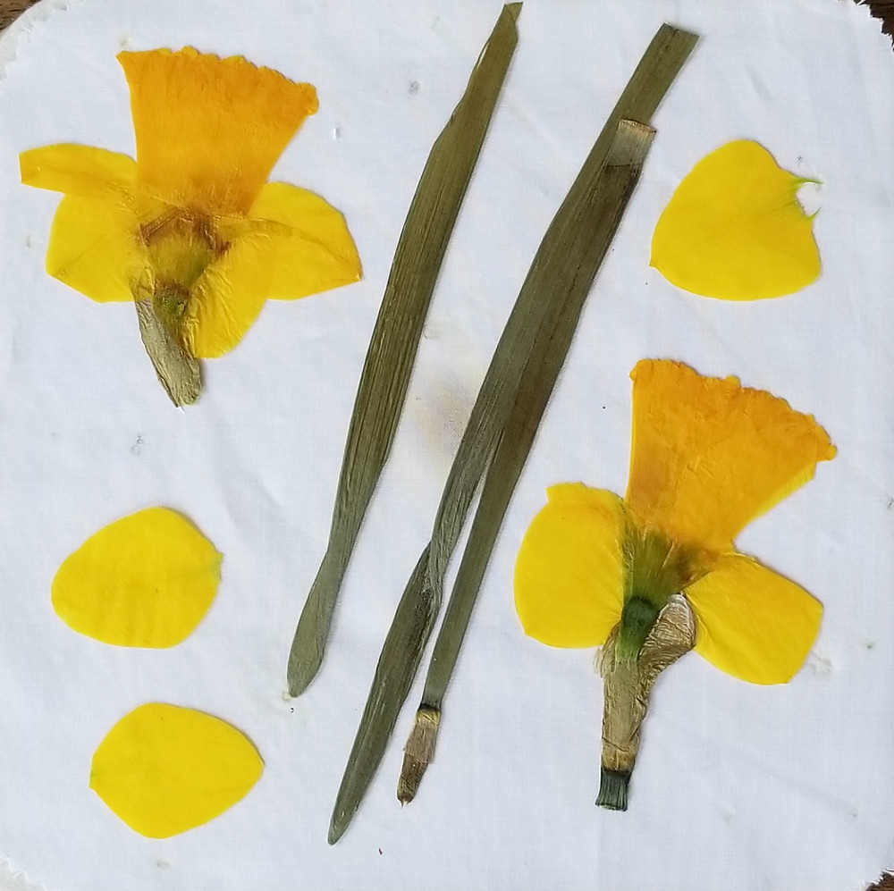 pressed daffodils by VT Pressed Flowers