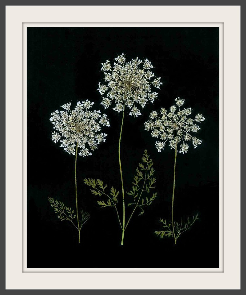 original pressed flower art featuring Queen Anne's Lace