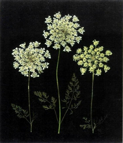C36 - Queen Anne's Lace