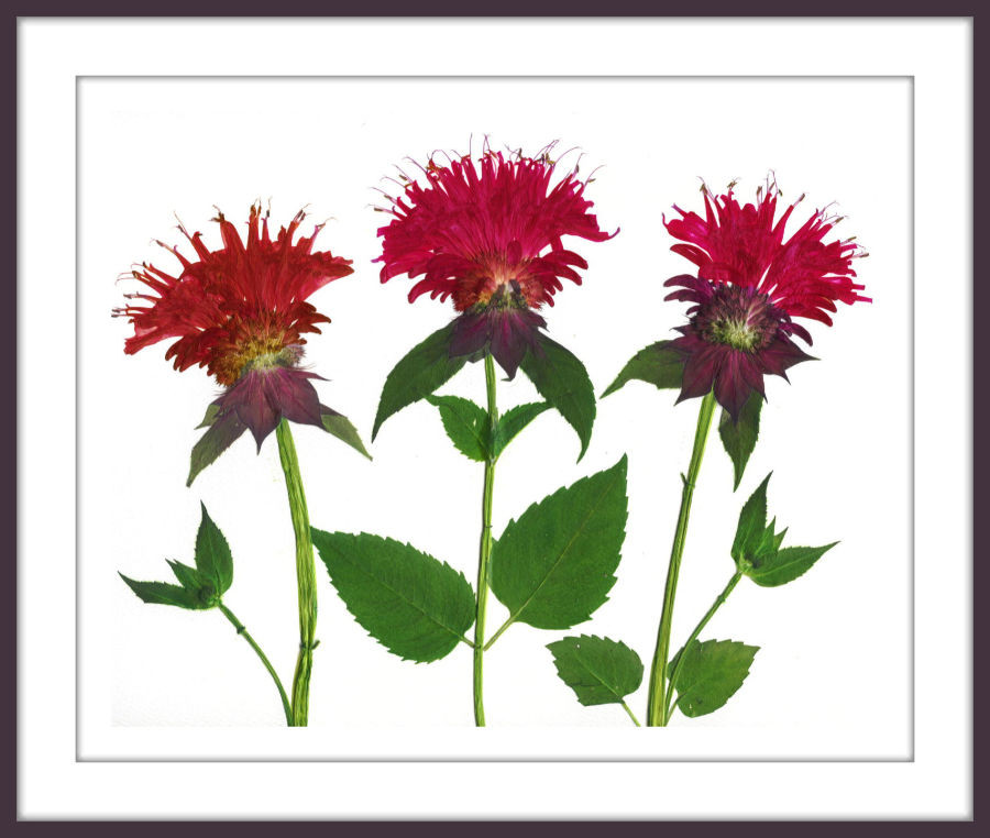 pressed bee balm by Ellie Roden