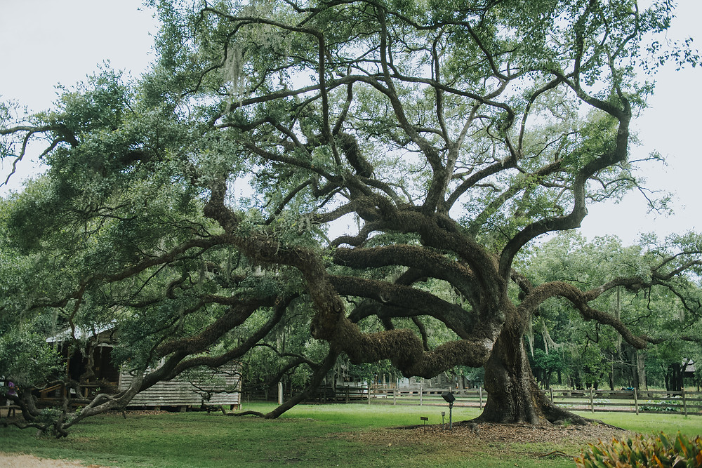 300 year old tree, Destrehan Plantation