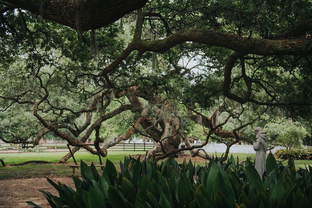 Oak Tree, Destrehan Plantation
