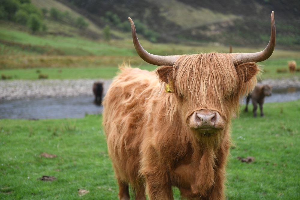 Highland Cow on the Alladale Wilderness Reserve