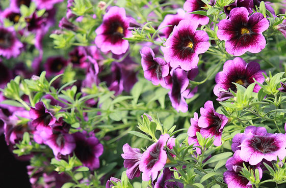 Purple Calibrachoa