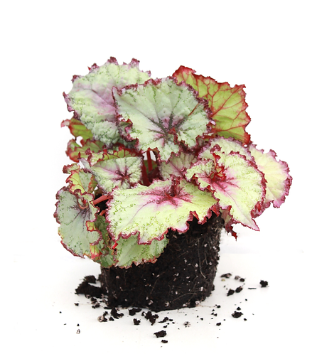 Rex Begonia-Assorted Colors
